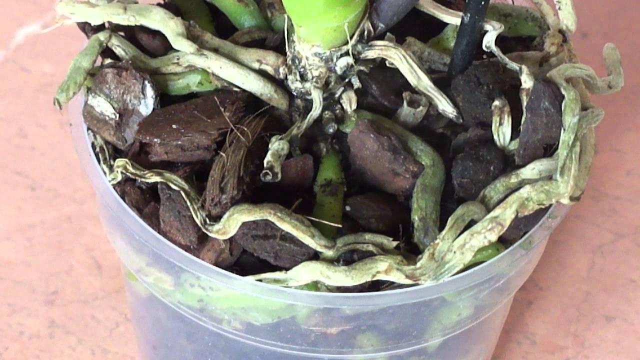 Проблема: у орхидеи сохнут листья