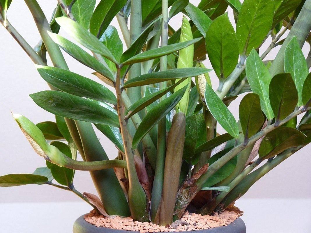 Замиокулькас — уход в домашних условиях и цветение долларового дерева (фото), как часто цветет и как ухаживать за цветком