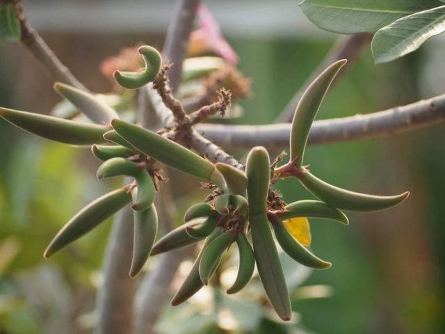 Рекомендации и советы по выращиванию адениума из семян и сеянцев в домашних условиях
