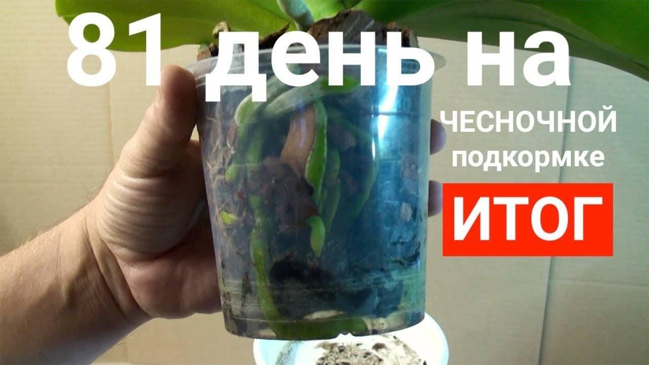 Чесночная вода для орхидей: правила полива орхидей настойкой из чеснока. как сделать чесночную воду? отзывы