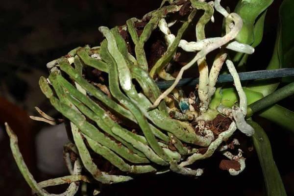 У вашей домашней орхидеи сохнут корни? из-за чего это происходит и как с этим бороться?