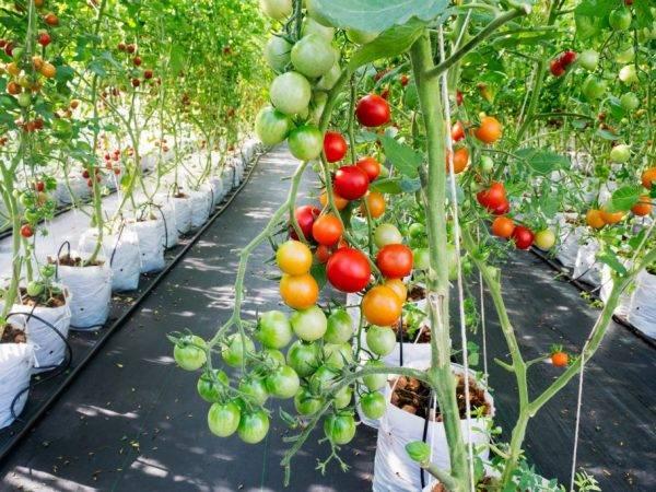 Выращивания томатов на гидропонике: в ногу со временем или чем примечателен метод