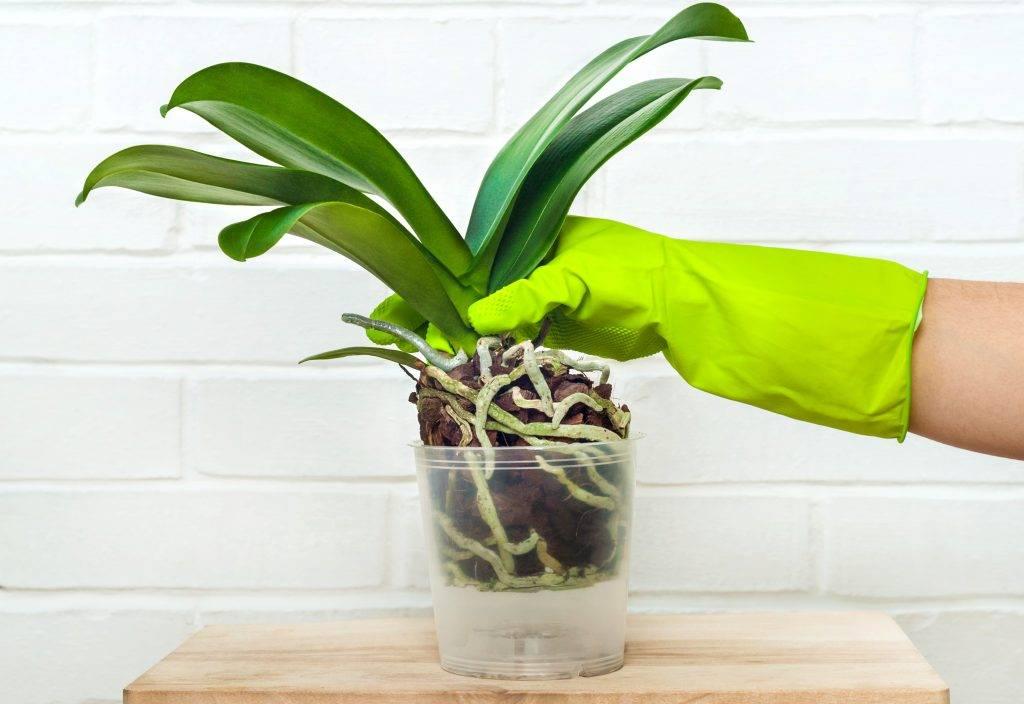 Как применять янтарную кислоту при выращивании орхидей
