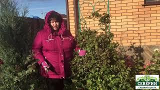Обрезка клематиса на зиму и нужно ли их укрывать