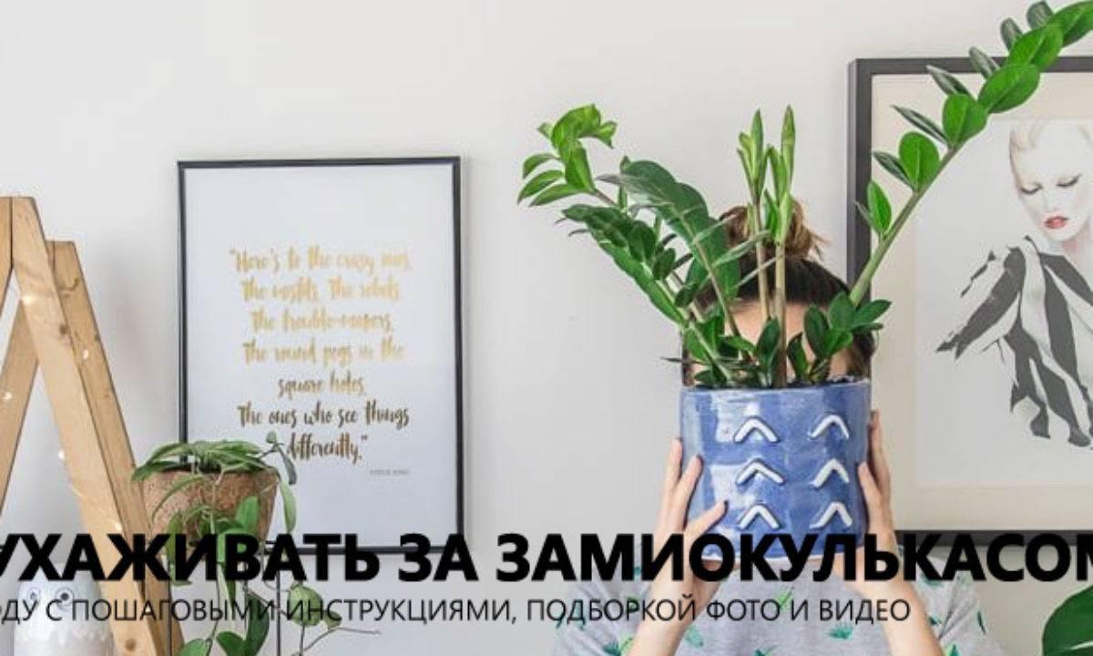 Замиокулькас (долларовое дерево) (140 фото & видео) – уход в домашних условиях, пересадка, размножение +отзывы
