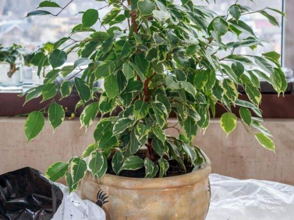 Как подобрать почву для фикуса — советы и рекомендации