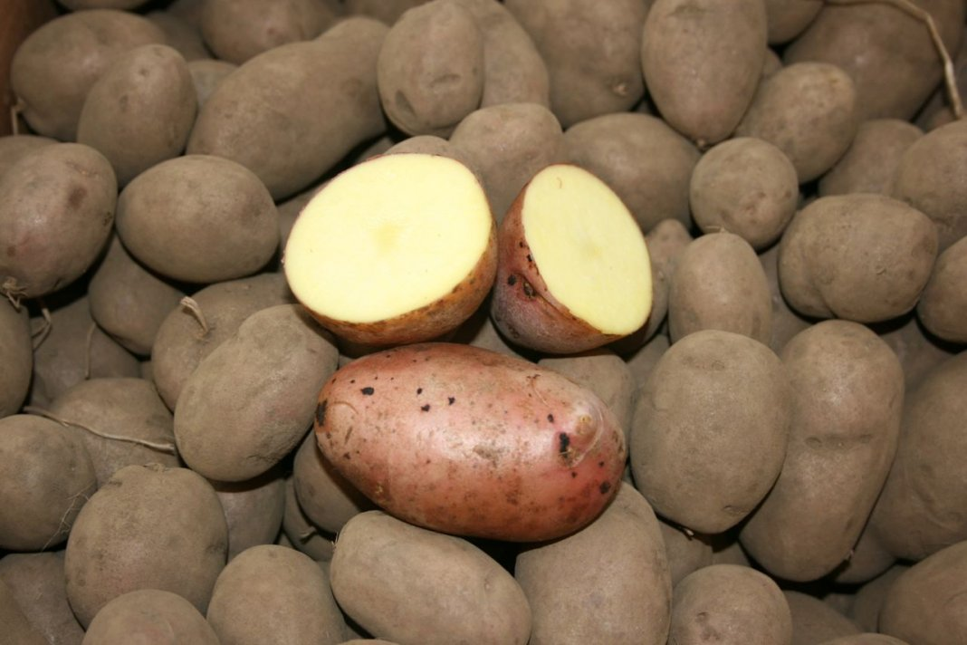 Самые урожайные сорта картофеля: обзор 10 самых высокоурожайных