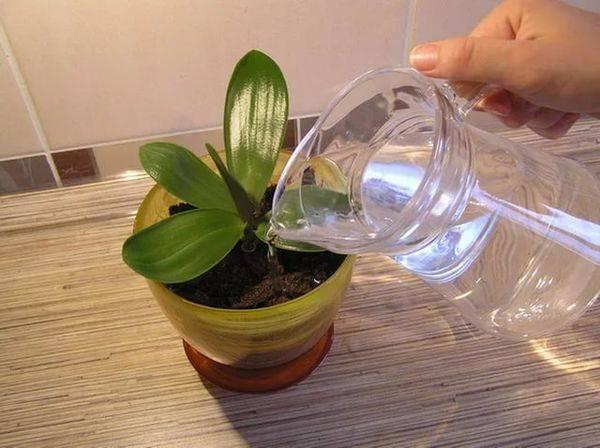 Чесночная вода для орхидей: рецепт приготовления и правильный полив, польза и противопоказания