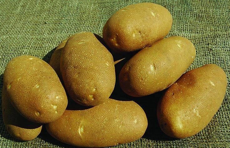 Лучшие сорта картофеля для центрального черноземья