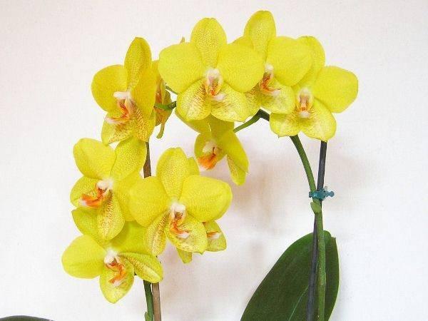 Прекрасные желтые орхидеи фаленопсис: названия сортов и фото