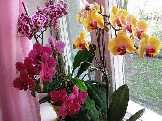 Всё о том, что нужно делать, если у орхидеи фаленопсис вянут листья и бутоны