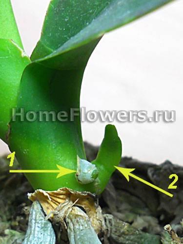 На цветоносе орхидеи появился цветонос и она дала почку - что делать?