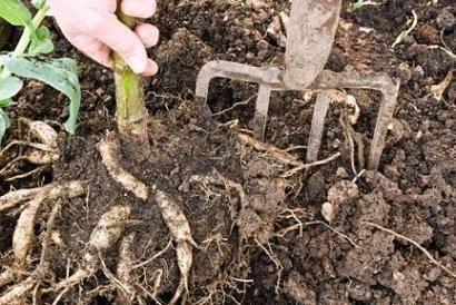 Как хранить георгины после выкопки и можно ли не выкапывать на зиму?