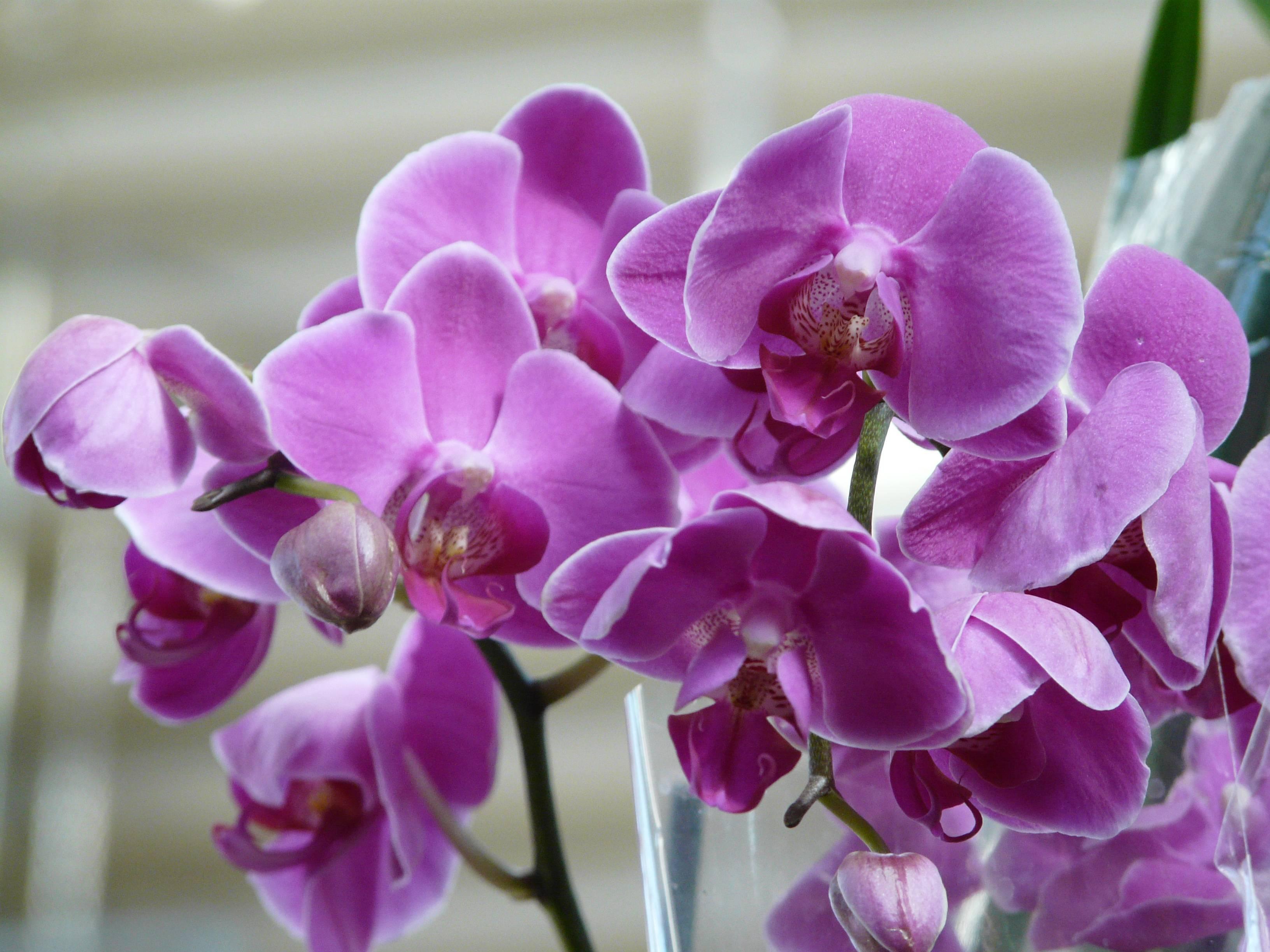 Фаленопсис: выращивание и размножение