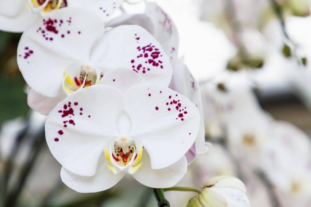 Варианты как развести и обработать орхидею актарой, инструкция по применению