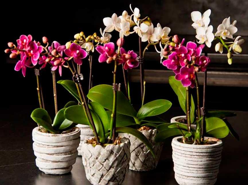 Орхидея фаленопсис: уход в домашних условиях после магазина, пересадка, полив, профилактика