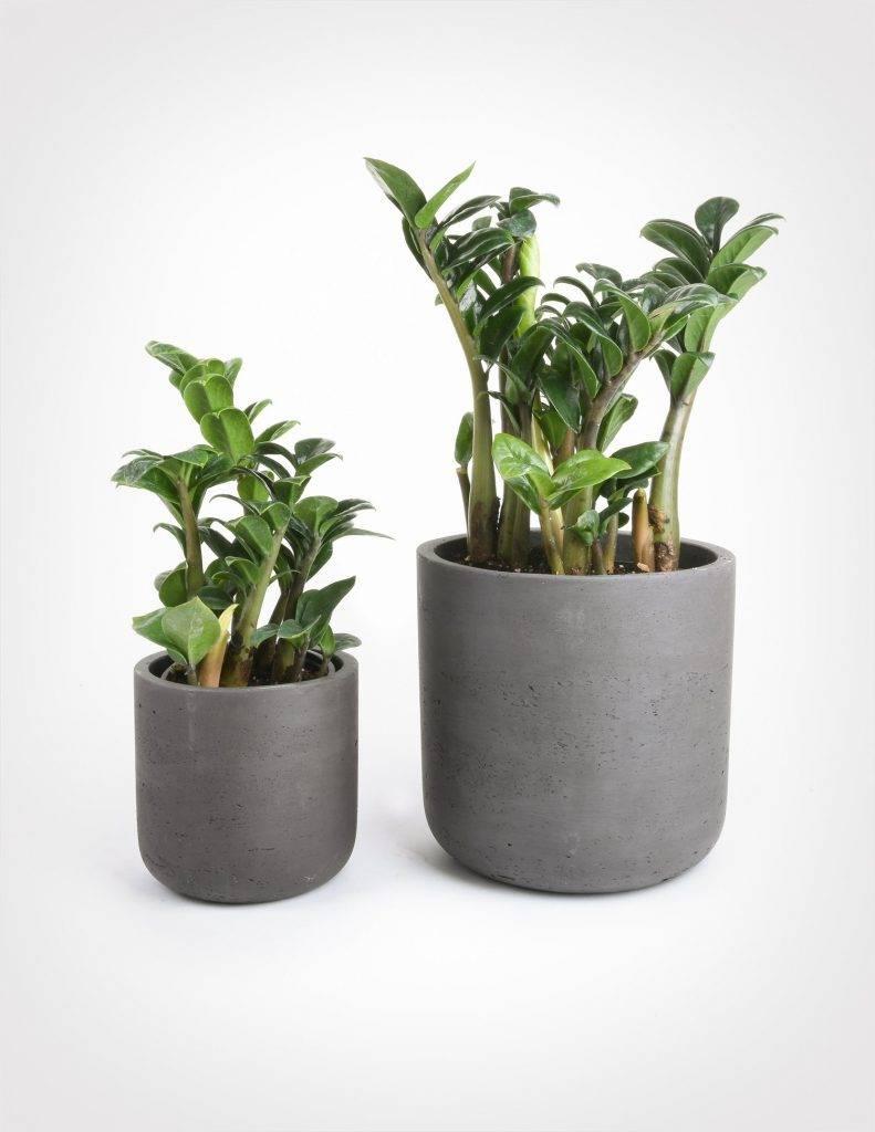 Замиокулькас - долларовое дерево. популярные виды с фото. все об уходе за растением