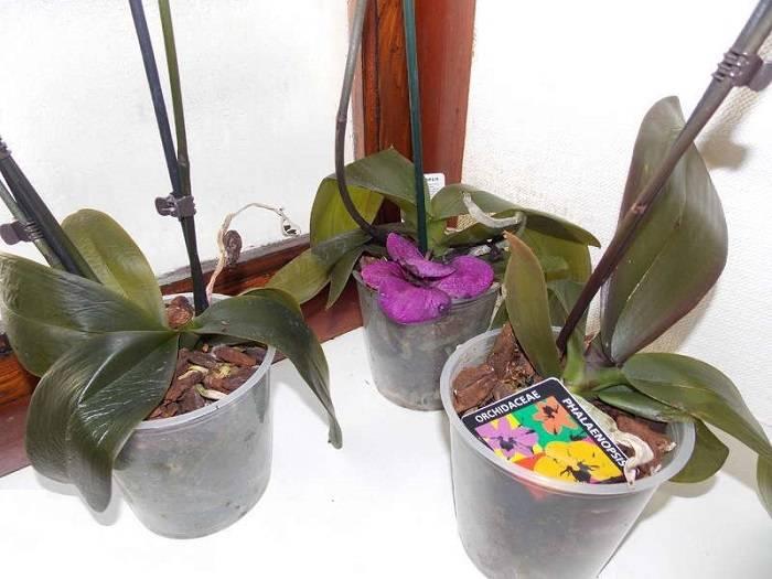 Почему у орхидеи вянут листья при цветении, после пересадки