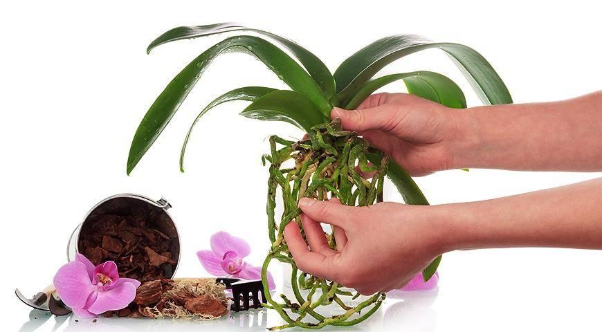 Янтарная кислота для орхидеи: когда можно применять, а также инструкции, как развести водой таблетки и порошки, чтобы полить и подкормить комнатное растение selo.guru — интернет портал о сельском хозяйстве