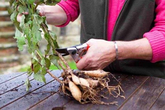 Когда выкапывать георгины и как хранить клубни зимой в домашних условиях | фазенда рф