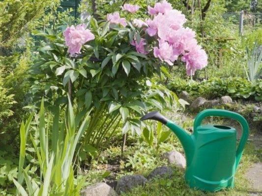 Чем подкормить пионы осенью: виды удобрений
