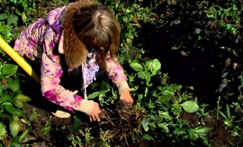 Когда выкапывать георгины осенью и как их правильно хранить