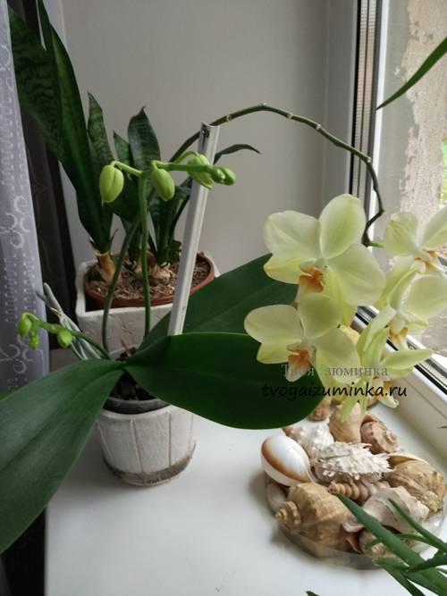 Уход за фаленопсисом в домашних условиях после магазина: что делать дальше с орхидеей, купленной в горшке, как ухаживать за комнатным цветком, и пересадка и полив русский фермер