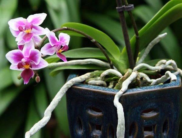 Воздушные корни у орхидеи: что с ними делать и нужно ли их обрезать? их функции. почему орхидея пускает очень много воздушных корней?