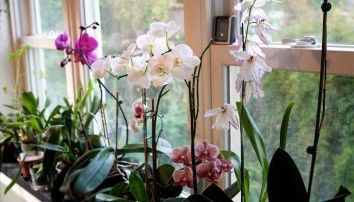 Отцвел фаленопсис, что делать дальше: уход после в домашних условиях за цветоносом орхидеи из точки роста, когда, сколько раз в году и как часто выпускает стрелку?