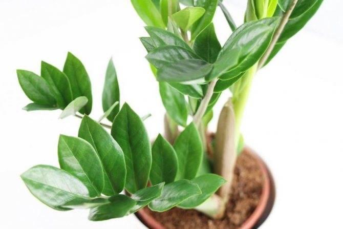 Долларовое дерево — как называется, виды растения