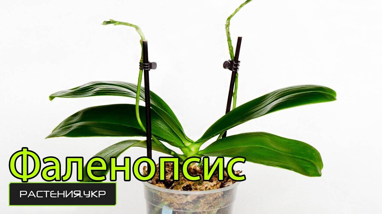 Уход в домашних условиях за фаленопсисом после магазина: пошагово, что делать дальше с орхидеей в горшке следом за покупкой, также полив комнатного цветка, пересадка selo.guru — интернет портал о сельском хозяйстве
