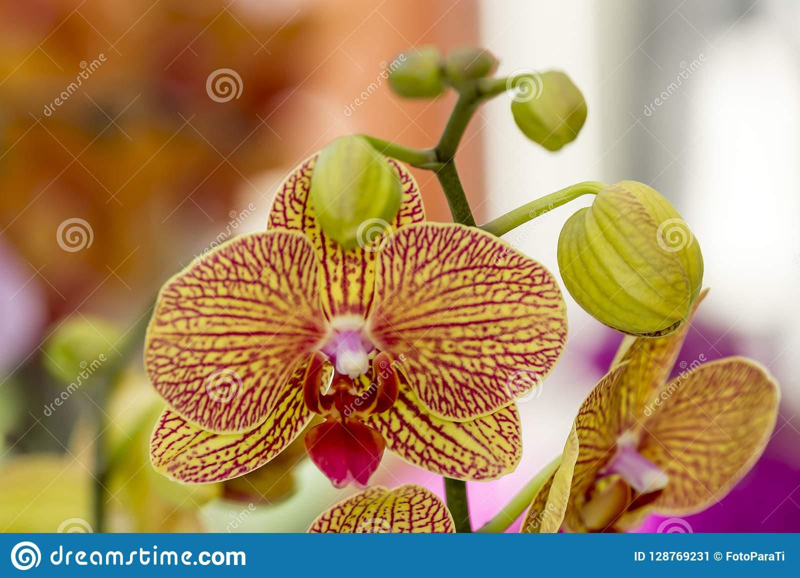 Запоминающаяся желтая орхидея — описание и сорта, их фото. выращивание цветов