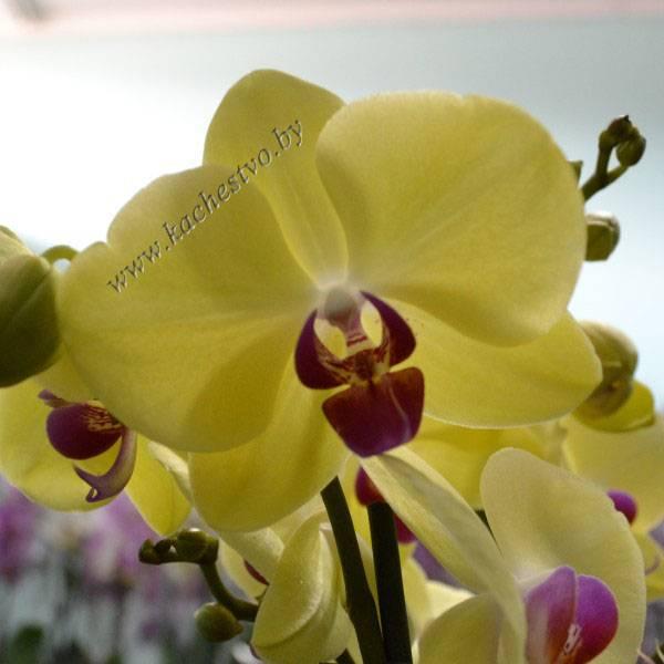Восхитительные сорта фаленопсисов: леонтина, лимонная, льюис берри, льюис сакура