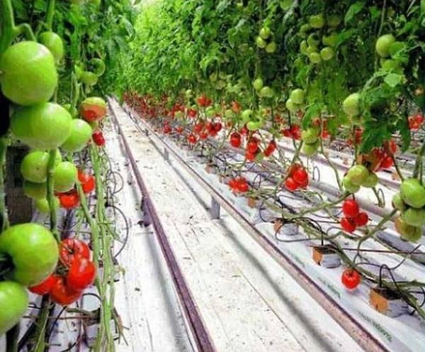 Помидоры на гидропоникае: в домашних условиях, выращивание, растворы. оборудование, видео, удобрения, своими руками, рассада