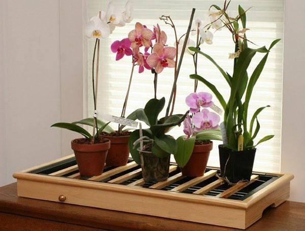 Орхидея (фаленопсис). как ухаживать за орхидеей после покупки в магазине - домашние растения