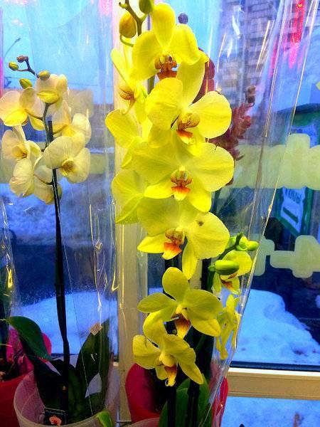 Зеленые орхидеи: фото и сорта, цветение в горшке и видео от специалистов