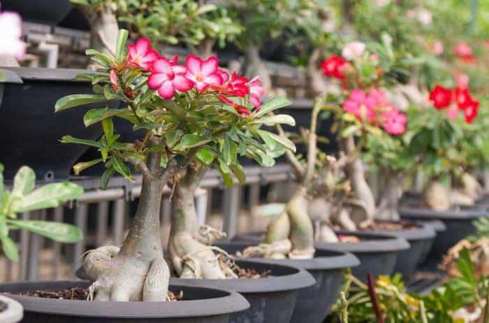 Выращивание адениума из семян в домашних условиях пошагово