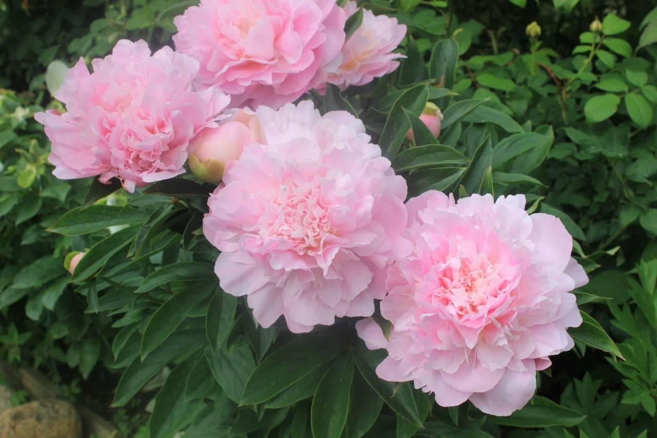 Весенняя подкормка пионов и последующие: чем полить и подкормить цветов  