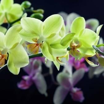 Какого цвета бывают орхидеи: фото коричневых, персиковых, марсала и другие, а также может ли она поменять расцветку и почему это происходит?