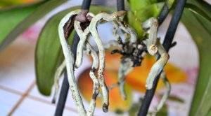 Сохнут корни орхидеи фаленопсис