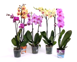 Орхидея фаленопсис: уход в домашних условиях, фото, пересадка