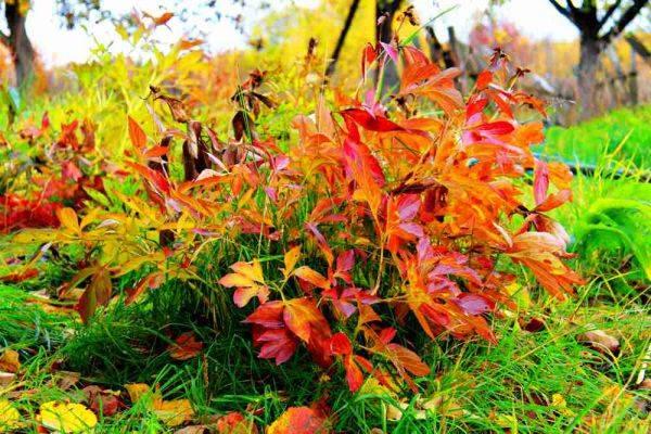 Подготовка пионов к зиме и уход за ними осенью: полное руководство