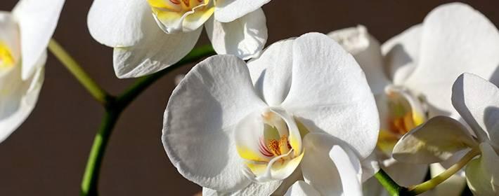 Как поливать орхидею зимой в домашних условиях: как часто нужно правильно увлажнять субстрат и сколько раз в месяц это допустимо?