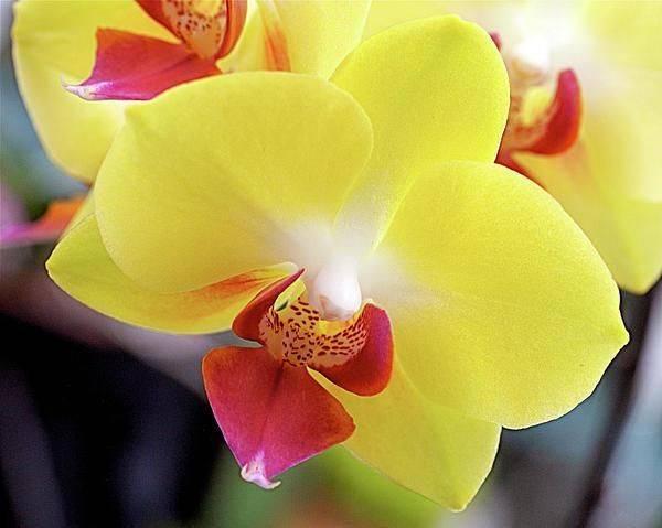 Розовые орхидеи (18 фото): описание сорта фаленопсиса «розовый дракон» и других, название желто-розовой орхидеи. правила ухода