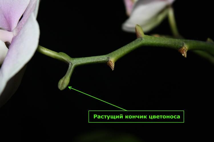 Почему желтеет орхидея и что делать со стволом, если он пожелтел?