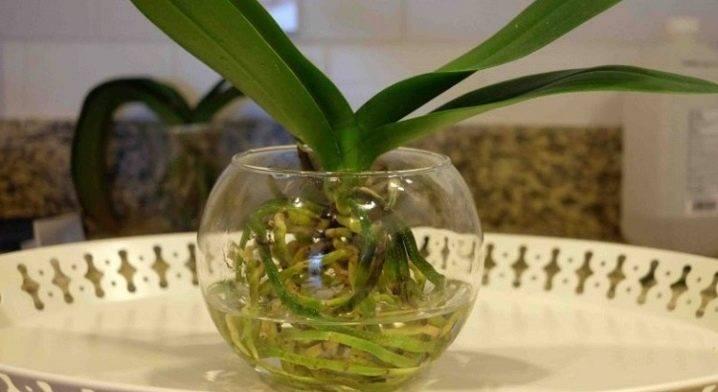 Янтарная кислота — волшебная подкормка для орхидей