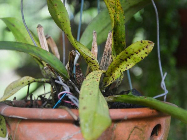 Где обитает паутинный клещ на орхидее и как от него избавиться?