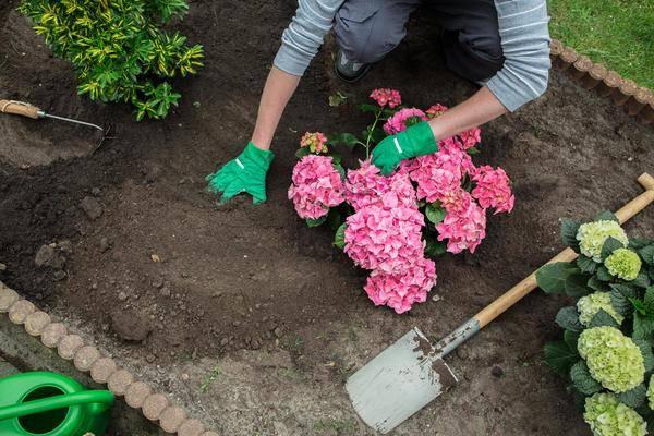 Гортензии в саду: подкисление почвы и подкормка