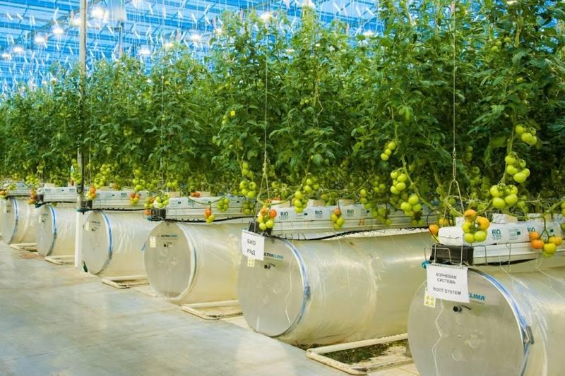 Как вырастить помидоры дома гидропоника