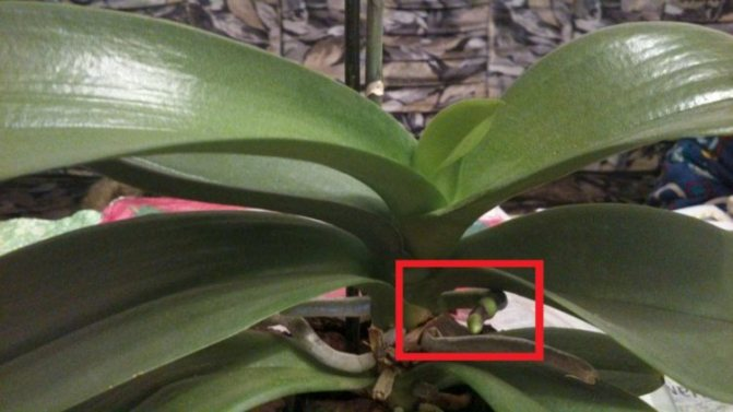 Секреты успешного цветоводства: как растет цветонос у фаленопсиса?